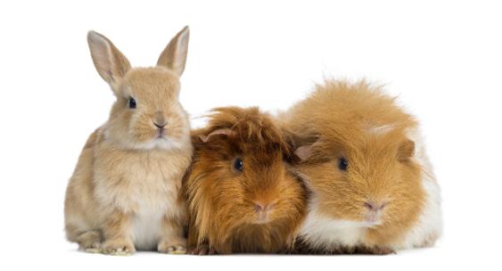 Knaagdier-konijn-fret
